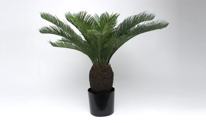 Baby Cycas Plant Product Image