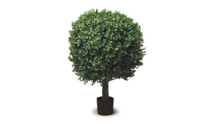 Boxwood Ball Potted Product Image