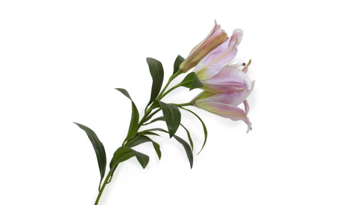 Giant Casablanca lily – LIGHT PINK Product Image